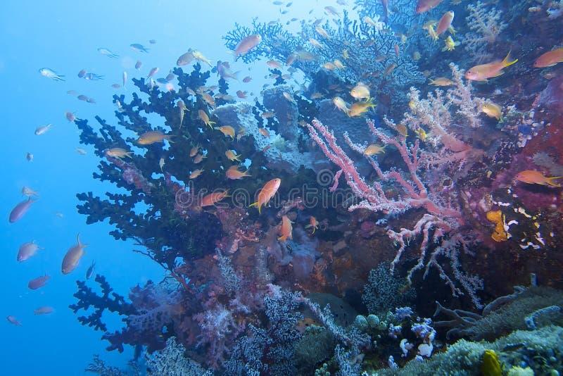 Coral Reef Life hermosa del capellán Burgos, Leyte, Filipinas fotografía de archivo libre de regalías