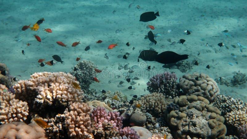 Coral Reef Life Scene, Mar Vermelho fotografia de stock royalty free