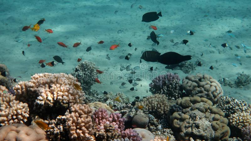 Coral Reef Life Scene, Rotes Meer lizenzfreie stockfotografie