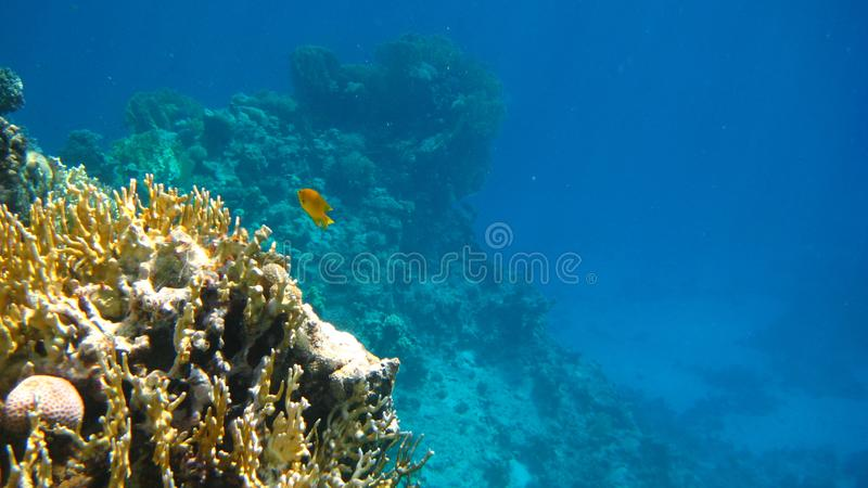 Coral Reef Lone Fish stock foto's