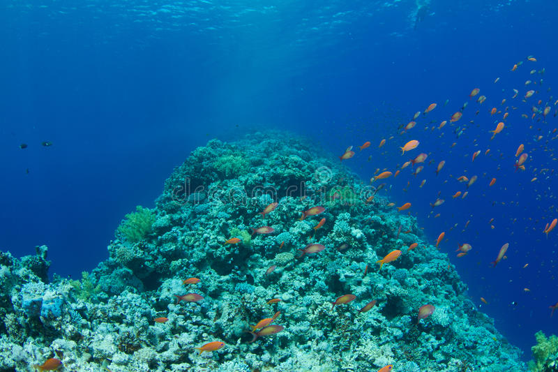 Coral reef with lyretail anthias. The saddle of the Blue Hole with lyretail anthias royalty free stock photo