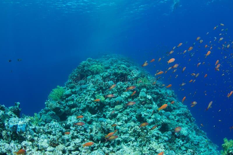 Download Coral Reef With Lyretail Anthias Stock Image - Image: 20243625