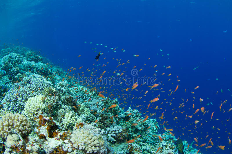 Coral reef with lyretail anthias. The saddle of the Blue Hole with lyretail anthias stock photo