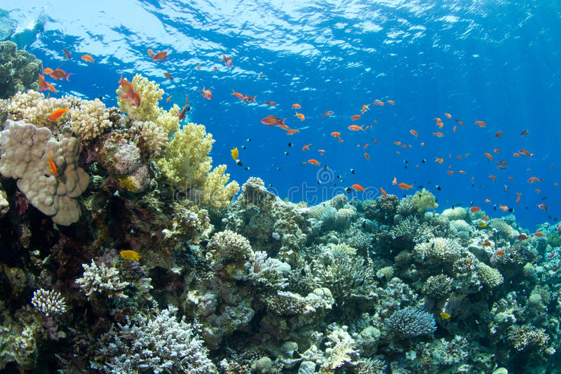 Coral reef with lyretail anthias. The saddle of the Blue Hole with lyretail anthias decompressing royalty free stock photos