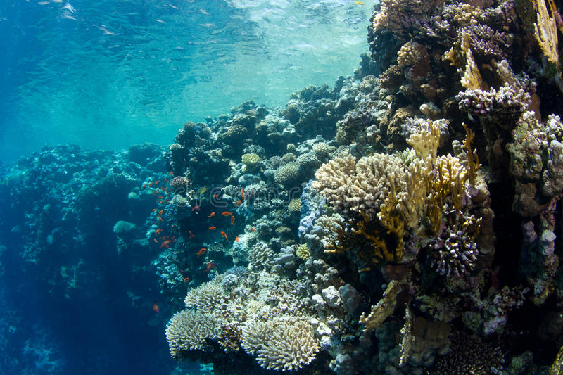Coral reef with lyretail anthias. The saddle of the Blue Hole with lyretail anthias decompressing stock image