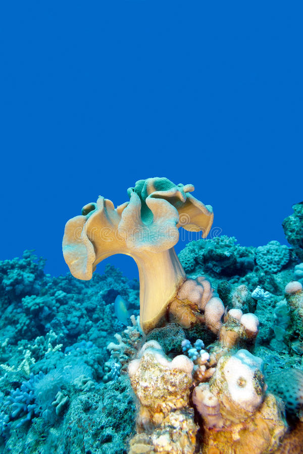Coral reef with mushroom leather coral in tropical sea , underwater. Coral reef with mushroom leather coral at the bottom of tropical sea , underwater stock photos