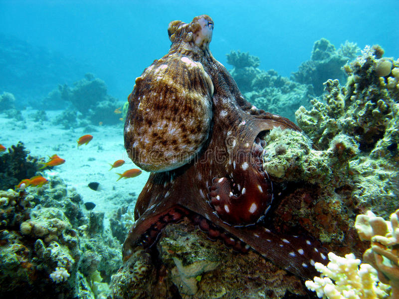 Coral reef with octopus stock photography