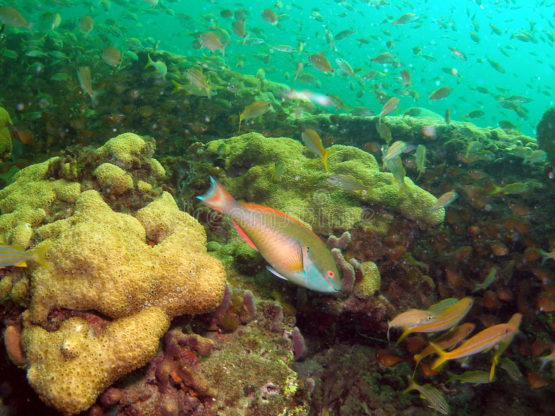 Download Coral Reef and Parrotfish stock image. Image of bahamas - 6109709