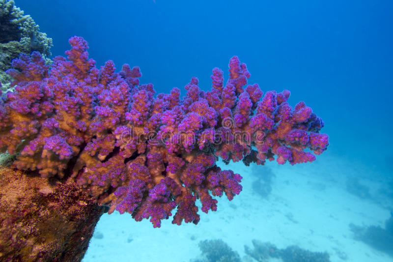 Coral reef with pink pocillopora coral at the bottom of tropical sea royalty free stock image