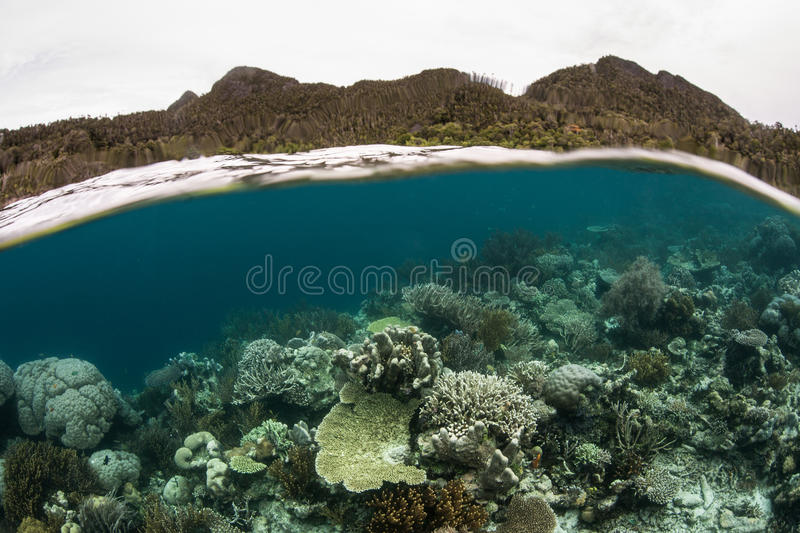 Coral Reef in Raja Ampat. A healthy, robust coral reef grows in the shallows of Wayag, Raja Ampat, Indonesia. This region is the heart of the Coral Triangle and royalty free stock images