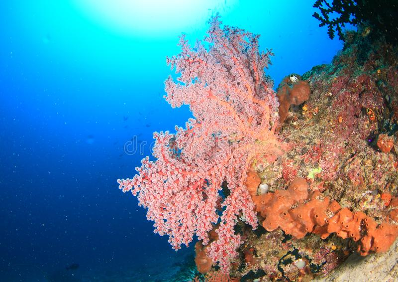 Coral reef in Raja Ampat. Coral reef with red soft tree coral with white polyps and sun behind in Raja Ampat, Papua Barat, Indonesia stock images