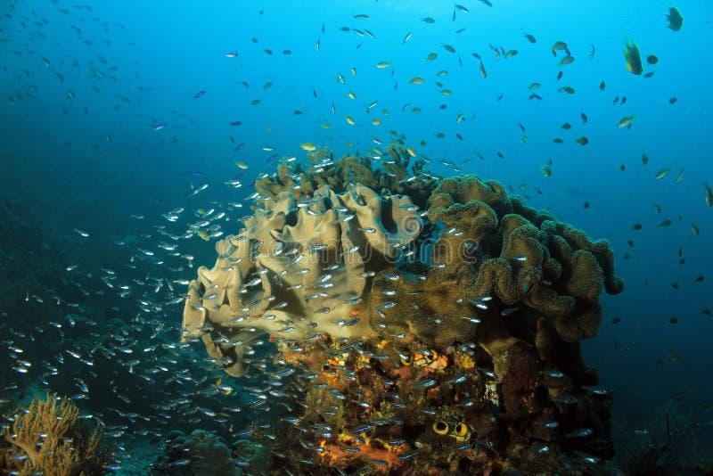 Coral Reef Raja Ampat. Schools of Small Fish over a Coral Pinnacle. Dampier Strait, Raja Ampat, Indonesia stock image