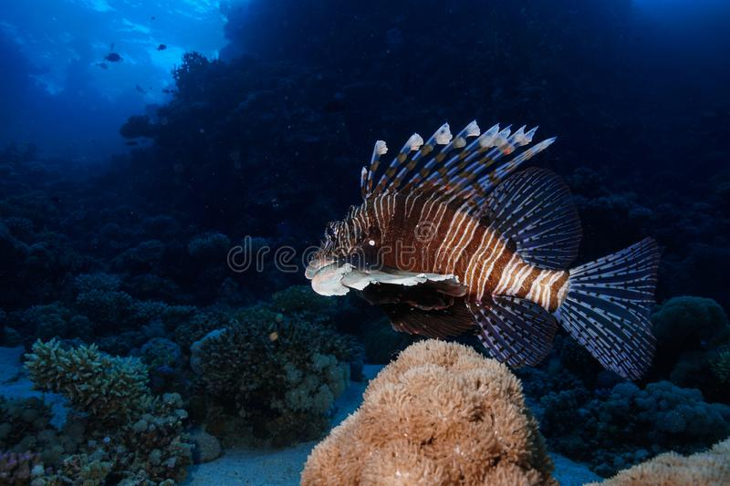 Coral Reef at the Red Sea, Egypt royalty free stock image