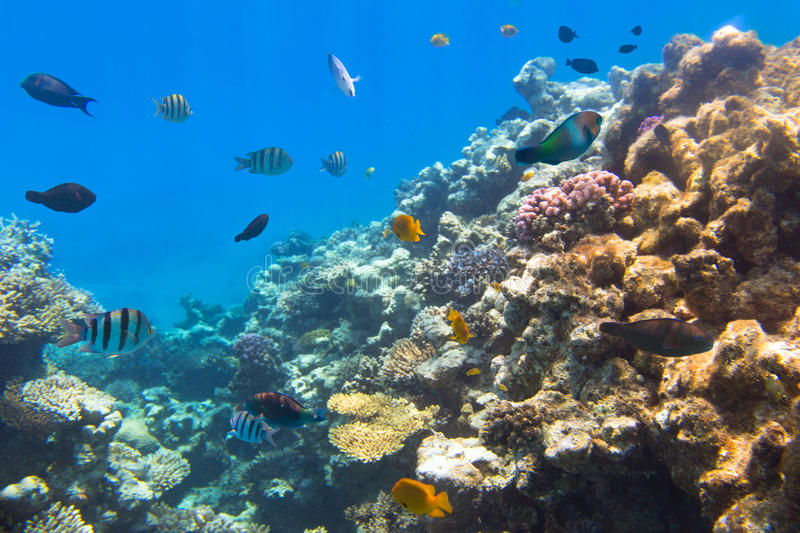 Download Coral Reef Of Red Sea With Tropical Fishes Stock Photos - Image: 30744093