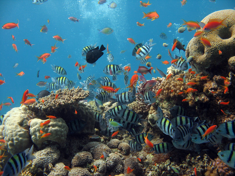 Coral Reef Scene. A lively coral reef, with many fish and bubbles in the background