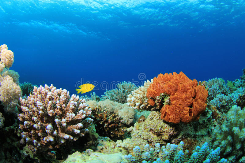 Coral Reef Scene. Coral Reef with Sponge, Hard Corals and Damselfish