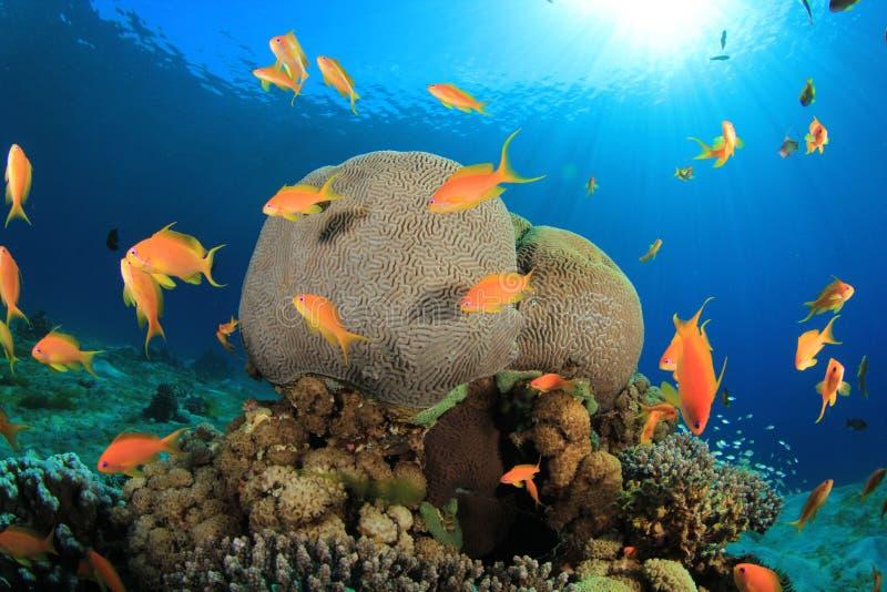 Download Coral Reef Scene stock image. Image of anthias, dahab - 23011423