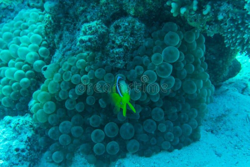 Coral Reef Scene com os Butterflyfishes do guaxinim do Mar Vermelho subaquáticos foto de stock royalty free