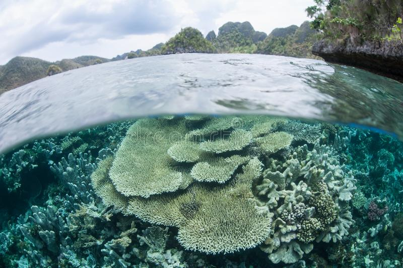Coral Reef in Shallows of Raja Ampat. Healthy corals thrive in the shallows near a remote island in Raja Ampat, Indonesia. This tropical region is home to royalty free stock photos