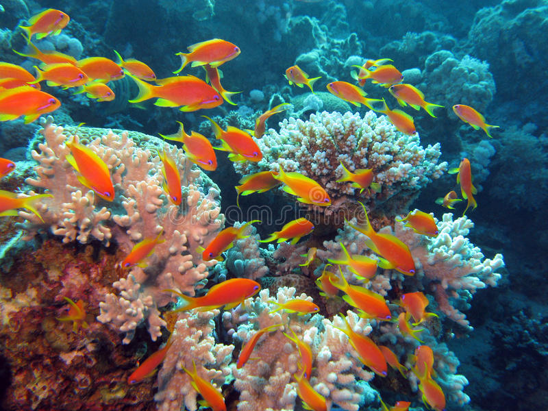 Coral reef with shoal of exotic fishes anthias at the bottom of tropical sea stock photos