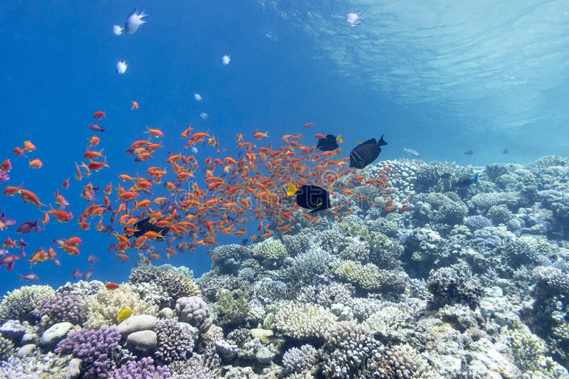 Coral reef with shoal of fishes scalefin anthias, underwater. Colorful coral reef with shoal of fishes scalefin anthias in tropical sea royalty free stock photos