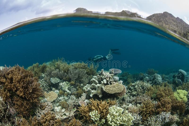 Coral Reef and Snorkeler in Raja Ampat. A snorkeler explores a beautiful coral reef near a remote island in Raja Ampat, Indonesia. This tropical region is home stock photos