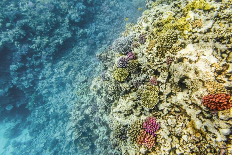 Coral Reef sob a água do Mar Vermelho foto de stock royalty free