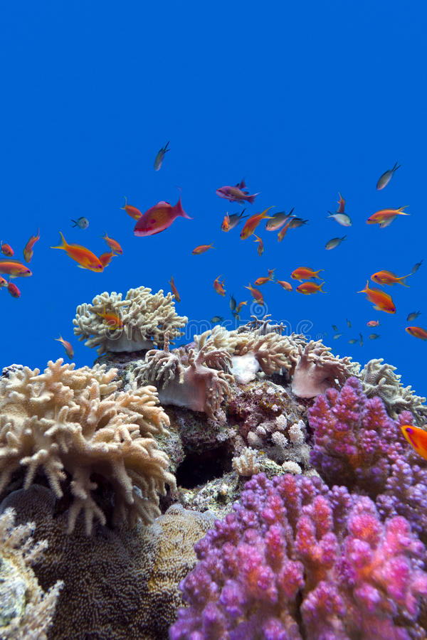Coral reef with soft and hard corals with exotic fishes anthias on the bottom of tropical sea on blue water background. Coral reef with soft and hard corals with stock photos