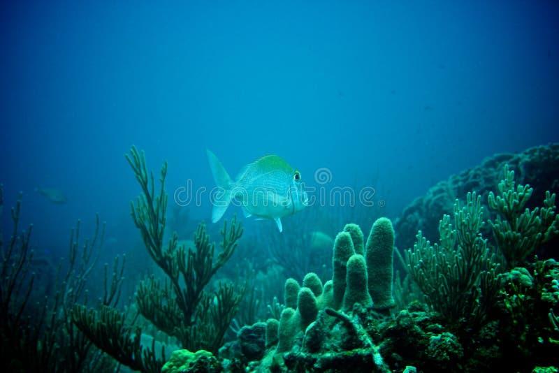 Coral Reef, tropische vissen en het oceaanleven in het Caraïbische overzees royalty-vrije stock fotografie