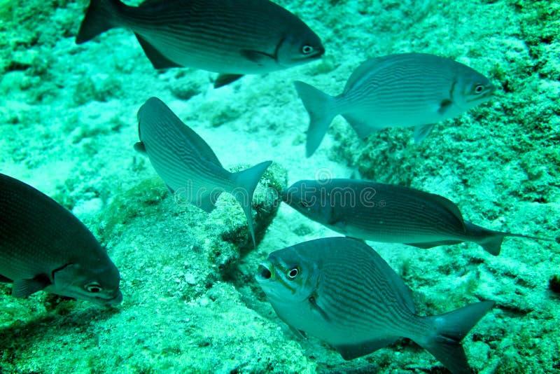 Coral Reef, tropische vissen en het oceaanleven in het Caraïbische overzees stock afbeelding