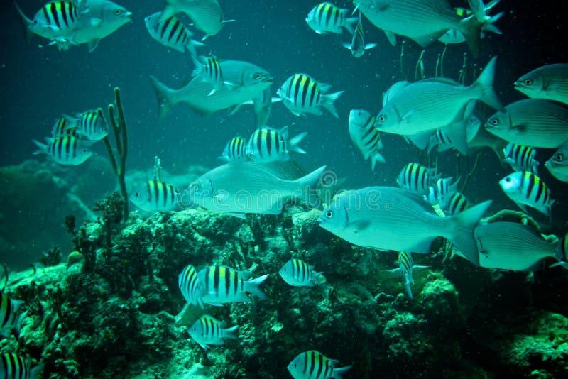 Coral Reef, tropische vissen en het oceaanleven in het Caraïbische overzees royalty-vrije stock foto