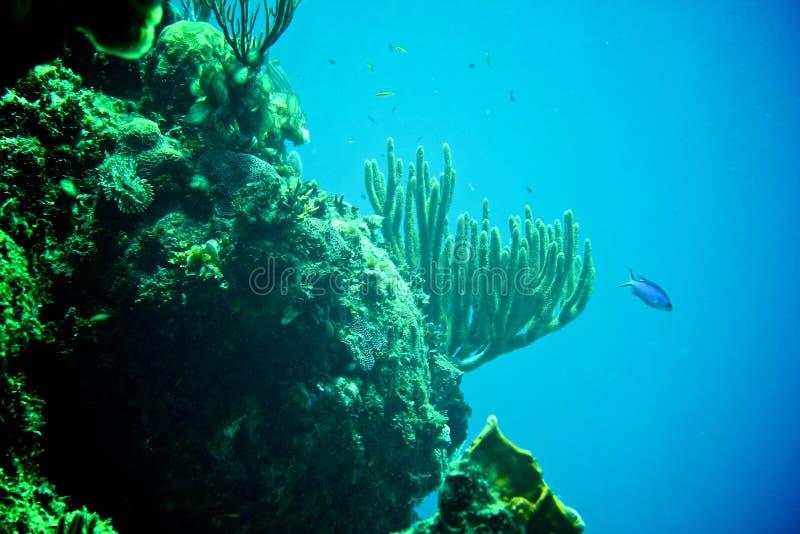 Coral Reef, tropisk fisk och havliv i det karibiska havet royaltyfri bild