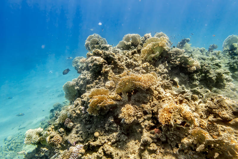 Coral Reef under water of the Red Sea royalty free stock image