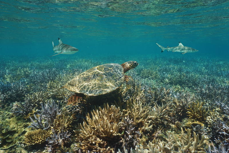 Coral reef underwater sea turtle and shark Pacific royalty free stock photo
