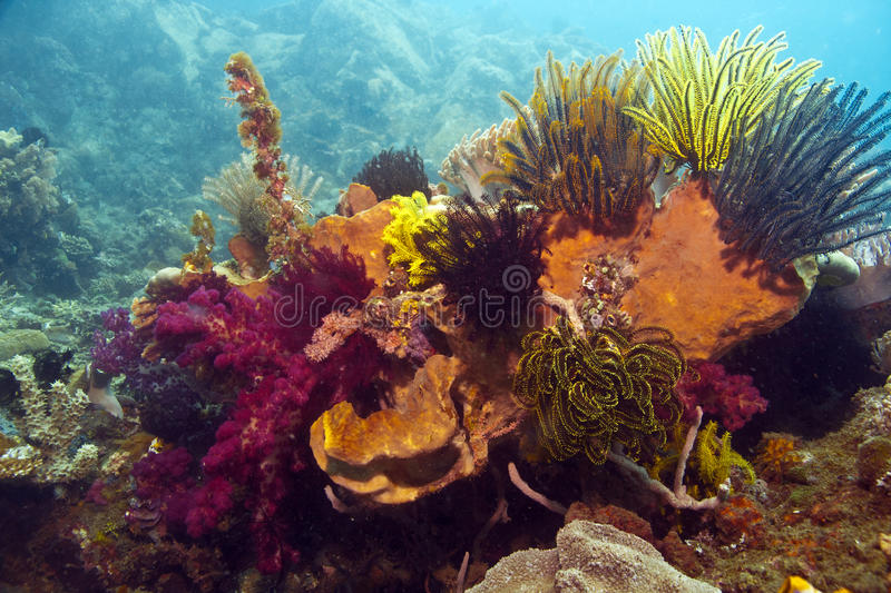 Coral reef. Underwater solf corals with crinoid royalty free stock photos
