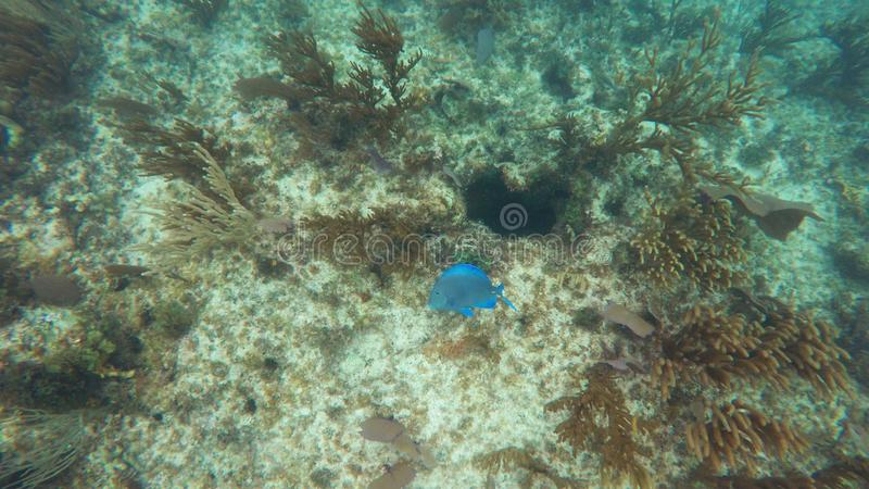 Coral reefs with a bright blue fish royalty free stock images