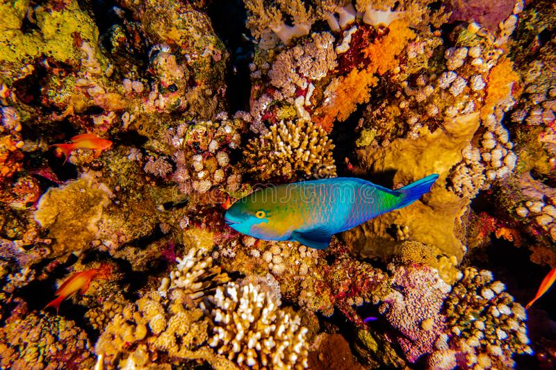 Coral reefs and water plants in the Red Sea. Colorful and full of different colors a.e royalty free stock photos