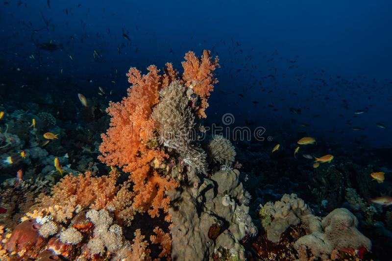 Coral reefs and water plants in the Red Sea. Eilat Israel royalty free stock photo