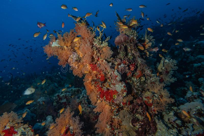 Coral reefs and water plants in the Red Sea. Eilat Israel stock images