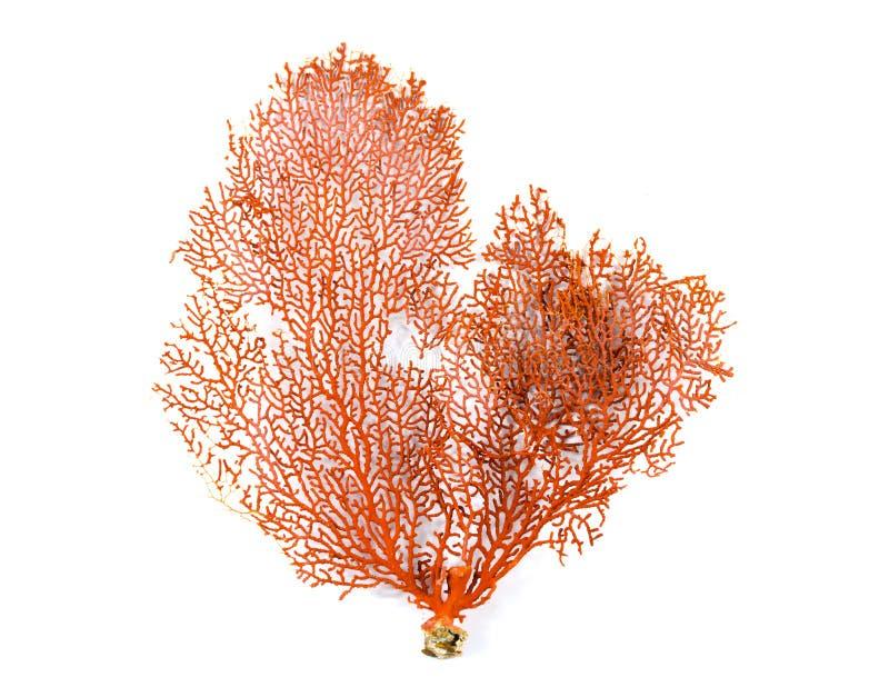 Coral rojo de la fan de Gorgonian o de Mar Rojo aislado en el fondo blanco imagenes de archivo