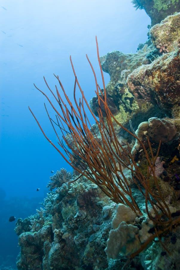 Coral rojo del azote en un filón coralino tropical. imágenes de archivo libres de regalías