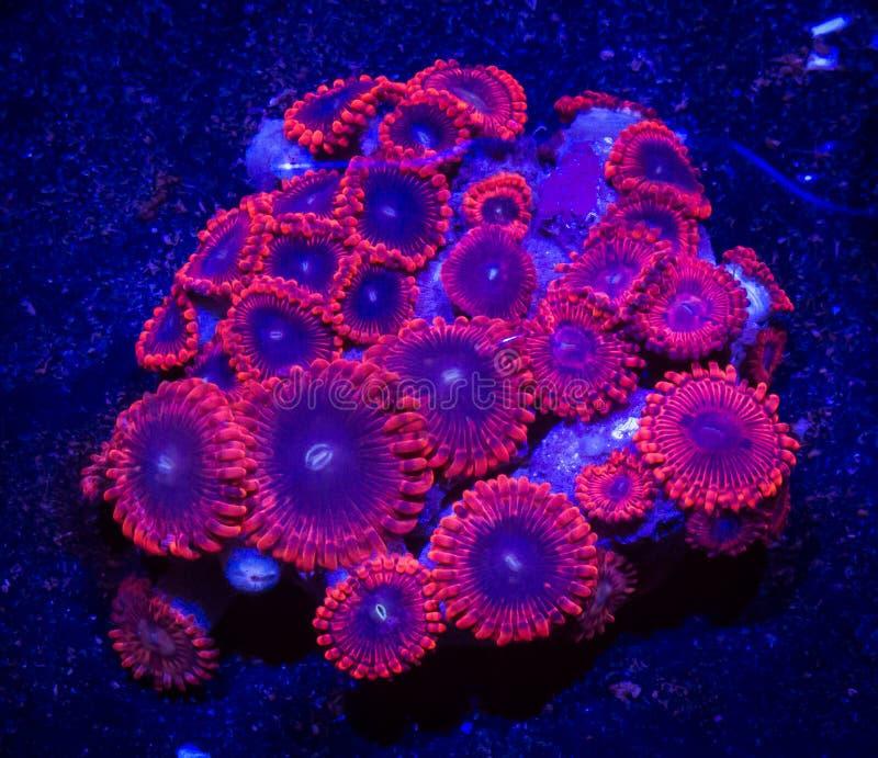 Coral rojo y azul de Zoanthid foto de archivo