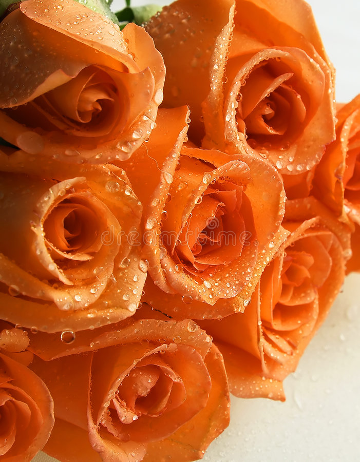 Coral roses royalty free stock photo