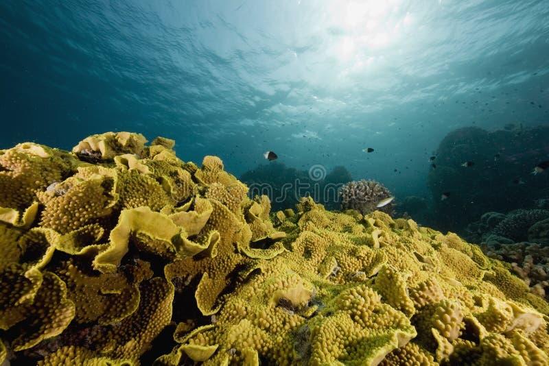 coral ryb zdjęcie stock