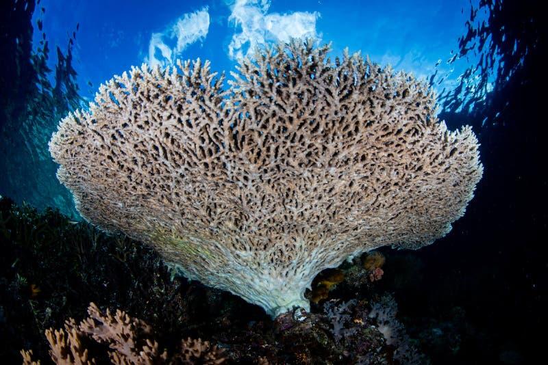 Coral saudável da tabela em Indonésia fotos de stock royalty free