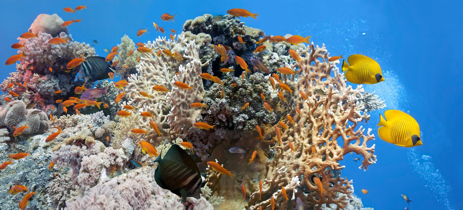 Coral scene -panorama. From red sea