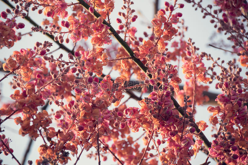 Coral Shower, Pink Shower Tree Seeds Cassia grandis - vintage style royalty free stock photo