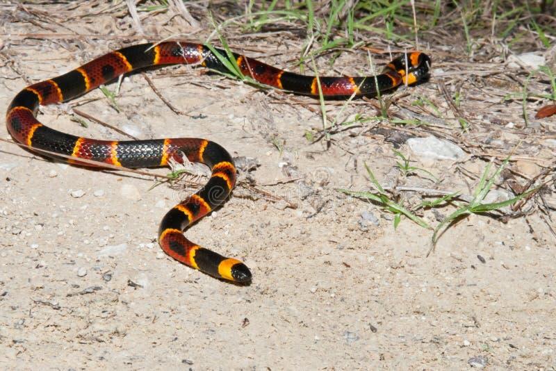 Coral Snake orientale immagini stock libere da diritti