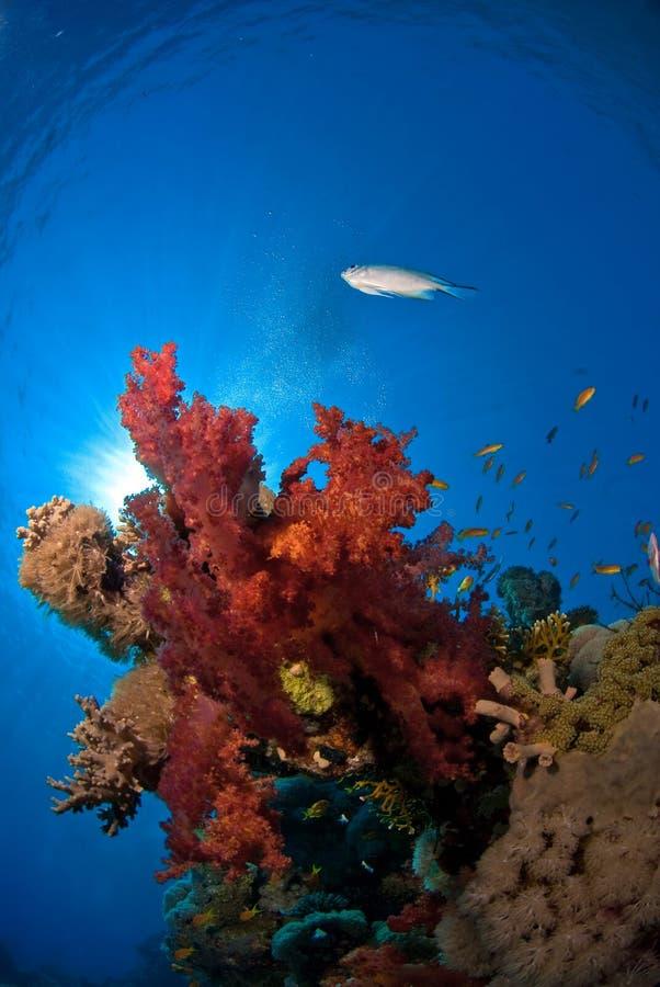 Coral suave con los pescados imagenes de archivo