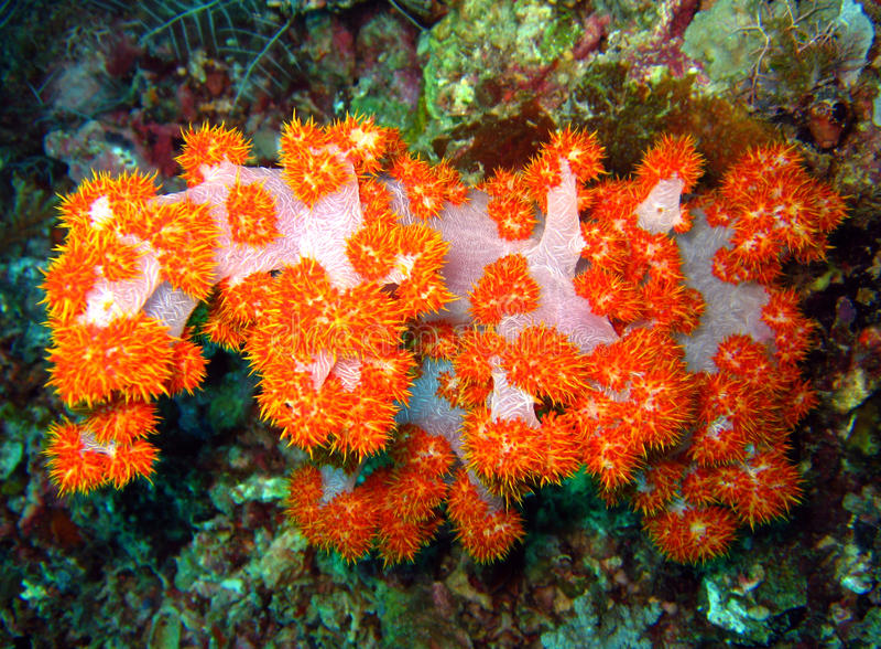 Coral suave del árbol fotos de archivo libres de regalías